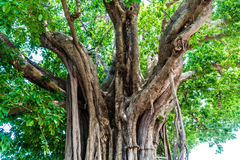 Ficus lacor Buch big tree Stock Photos