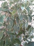 Ficus lata bicolor natura obrazy royalty free