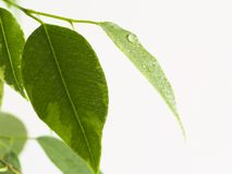 Ficus leaf. Water drops on ficus leaf Stock Photos