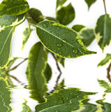 Ficus leaf  background Royalty Free Stock Photography