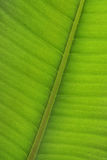 Ficus leaf close-up Royalty Free Stock Photo