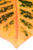 Ficus leaf close-up Stock Image