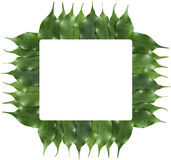 Ficus leaf frame Royalty Free Stock Photos