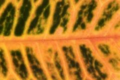 Ficus leaf texture, back light Royalty Free Stock Photos