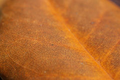 Ficus. Leaf texture Stock Photos
