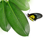 Ficus leaves with butterfly Stock Photography