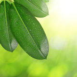 Ficus leaves with dew drops Stock Photo