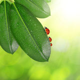 Ficus leaves with dew drops and ladybugs Royalty Free Stock Photography