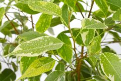 Ficus leaves with drops of water Royalty Free Stock Photos