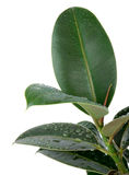 Ficus Leaves Stock Image