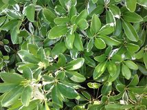 Ficus Leaves Stock Photography