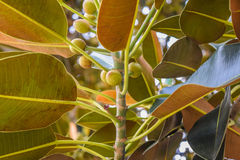 Free Ficus Leaves Old Moreton Bay Fig Ficus Has Literally Grown With Beverly Hills Over The Years Stock Photo - 68947050