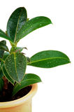 Ficus liście Zdjęcia Royalty Free