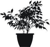 Ficus (linnaeus di benjamina del ficus) Fotografia Stock Libera da Diritti