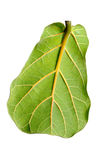 Ficus lirata leaf Stock Photography