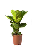 Ficus Lyrata Bambino Royalty Free Stock Photo
