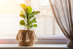 Free Ficus Lyrata On A Windowsill Close-up. Detail Of Scandinavian Interior And Copy Space. A Flower Pot In A Wicker Basket With Fringe Royalty Free Stock Photo - 173846425