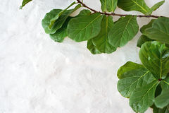 Ficus lyrata plant on wall background Stock Photo
