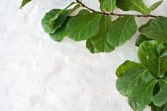 Ficus lyrata plant on wall background Stock Photo