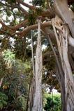 Ficus Macrophylla в Палермо, Сицилии Стоковая Фотография