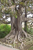 Ficus macrophylla. A tree of Ficus Macrophylla (Moreton Bay Fig -  Australia). A large evergreen banyan tree of the Moraceae family, known for its beautiful Royalty Free Stock Image