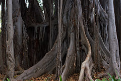 Ficus macrophylla big tree. Aerial roots, with column support. Bromeliaceae, Bromelia undergrowth plant Stock Photo