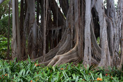 Ficus macrophylla big tree. Aerial roots, with column support. Bromeliaceae, Bromelia undergrowth plant Stock Image