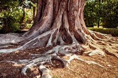 Ficus macrophylla Stock Image