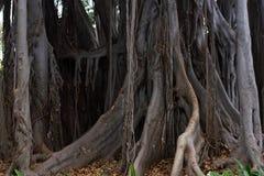 Ficus macrophylla duży drzewo Powietrzni korzenie z szpaltowym poparciem, Bromeliaceae, Bromelia porośla roślina Zdjęcie Stock