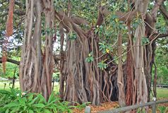 Ficus macrophylla f. columnaris with distinguishing feature of its lack of a single main trunk. Ficus macrophylla f. columnaris, family Moraceae. Restricted to Stock Image