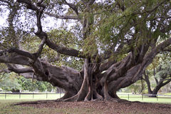 Ficus macrophylla, Moreton Bay Fig, Strangler Fig, Australia. Ficus macrophylla, commonly known as the Moreton Bay fig or Australian banyan, is a large evergreen Royalty Free Stock Photo