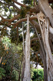 Ficus Macrophylla in Palermo,Sicily Stock Photography
