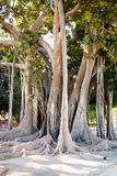 Ficus magnolioide  in Giardino Garibaldi, Palermo Stock Photography