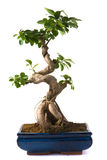 Ficus microcarpa (bonsai) Stock Images