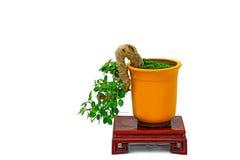 Ficus microcarpa bonsai plant Stock Image