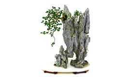Ficus microcarpa bonsai roślina obrazy stock