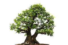 Ficus Microcarpa tree Royalty Free Stock Photo