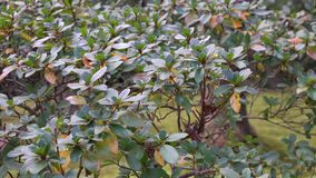 Ficus microcarpa trees at the park in Kyoto, Japan.  stock video