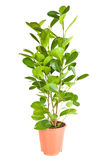 Ficus nel POT marrone Fotografia Stock