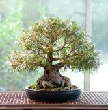 Ficus nerifolia Bonsais Stockfotos