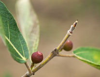 Ficus opposita Australian native sandpaper fig Royalty Free Stock Image