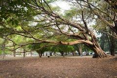 Ficus organensis Zdjęcia Royalty Free