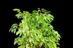 Ficus plant Stock Photo