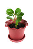 Ficus plant Royalty Free Stock Images