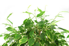 Ficus plant Stock Photo