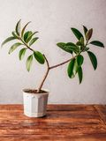 Ficus plant in white pot. On wooden surface royalty free stock photo