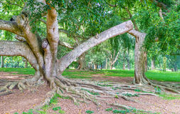 The ficus plants Royalty Free Stock Photography