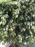 FICUS PUMALIA ,F. LYRATA ,F. ELESTICA, F. BANJAMINA ARE THE SPECIES OF A SAME FAMILY. FICUS PLANTS ARE ONE OF THE MOST POPULAR FOLLIAGE PLANTS MOST SUITABLE FOR royalty free stock images