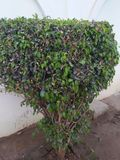 FICUS PUMALIA ,F. LYRATA ,F. ELESTICA, F. BANJAMINA ARE THE SPECIES OF A SAME FAMILY. FICUS PLANTS ARE ONE OF THE MOST POPULAR FOLLIAGE PLANTS MOST SUITABLE FOR royalty free stock image