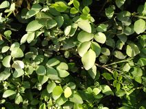 FICUS PUMALIA ,F. LYRATA ,F. ELESTICA, F. BANJAMINA ARE THE SPECIES OF A SAME FAMILY. FICUS PLANTS ARE ONE OF THE MOST POPULAR FOLLIAGE PLANTS MOST SUITABLE FOR stock photography